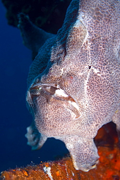 Giant Frogfish (Antennarius commersonii) can grow to 30 cm and is commonly encountered by divers, Celebes Sea, Sabah, Malaysia, Southeast Asia, Asia
