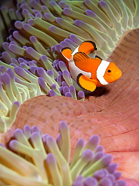 False clown anenomefish (Amphiprion ocellaris) in the tentacles of its host anenome, Celebes Sea, Sabah, Malaysia, Southeast Asia, Asia