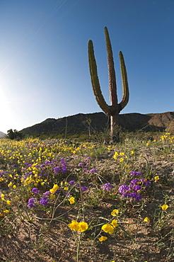 Giant Cardon cactus (Pachycereus pringlei) (Cardan) is a species of cactus native to northwestern Mexico, North America