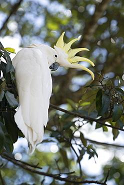 Greater sulphur-crested cockatoo (Cacatua galerita), Queensland, Australia, Pacific