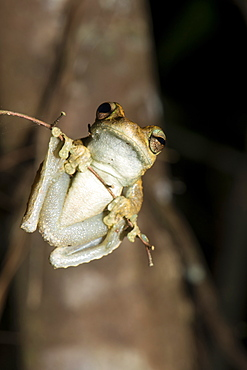Northern laughing tree frog (Roth's tree frog) (Litoria rothii), Wet Tropics rainforest frog. Queensland, Australia, Pacific