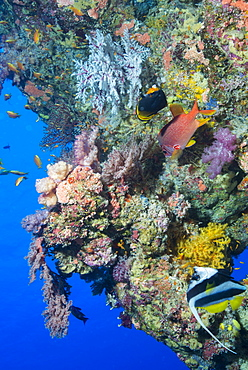 Colourful, coral covered Reef wall at Osprey Reef, Longfin banner fish (Heniochus acuminatus), Coral Sea, Queensland, Australia, Pacific