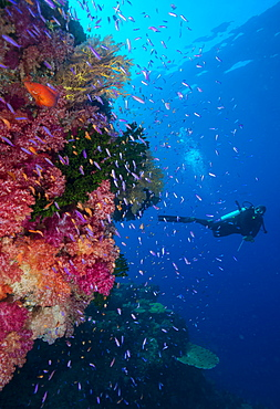 Colourful reef fish (Orange and purple anthias sp.) plus with hard and soft corals on reef wall, Queensland, Australia, Pacific