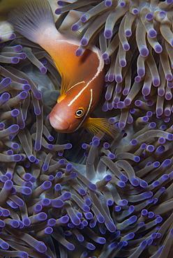 Pink anenomefish (Amphoprion perideraion) dominant female, lives in symbiotic association with its host anemone, Matangi Island, Vanua Levu, Fiji, Pacific