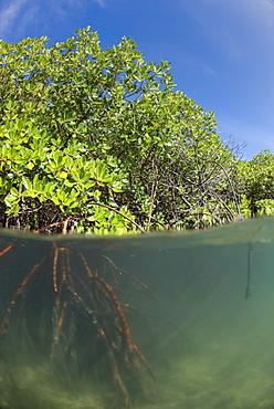 Rhizophora sp. mangrove above and below split shots from Sau Bay, Vanua Levu, Fiji, South Pacific, Pacific