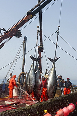Atlantic Bluefin tuna caught by the Almadraba maze net system, fish are lifted via ropes on their tail fins and placed on ice, Andalucia, Spain, Europe - 465-3427
