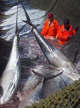 Atlantic Bluefin tuna being caught in Almadraba maze net system where fish are lifted via ropes on their tail fins and placed on ice, Andalucia, Spain, Europe