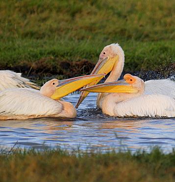 Pelicans, Lake Nakuru National Park, Kenya, East Africa, Africa
