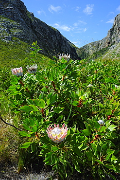 Protea, the national flower, Garden Route, Cape Province, South Africa, Africa