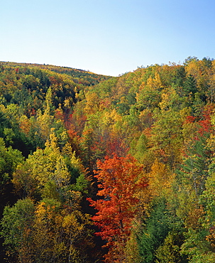Trees in fall colours in woods in the Acadia National Park, Maine, New England, United States of America, North America
