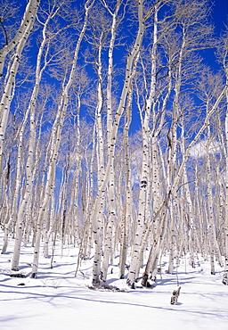 Aspen trees during winter, Dixie National Forest, Utah, USA