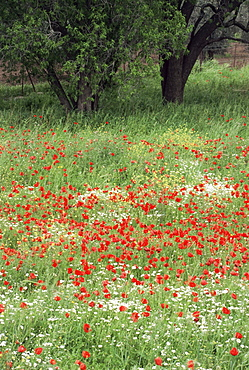 Field of wild flowers with poppies, Lesbos, Greece, Europe