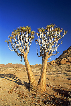 Quiver trees, Richtersveld, north Cape Province, South Africa, Africa
