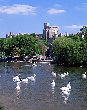 Swans on the River Thames with Windsor Castle behind, Windsor, Berkshire, England, United Kingdom, Europe