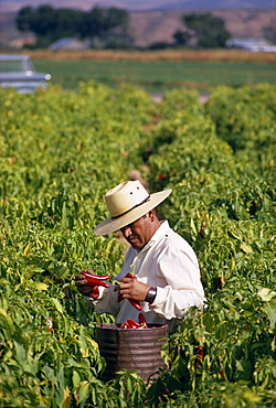 Farm worker picking chili peppers, Chile, South America