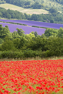 Lavender and poppies, Shoreham, near Sevenoaks, Kent, England, United Kingdom, Europe