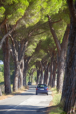 Pine tree lined road with car travelling along it, Tuscany, Italy, Europe