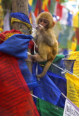 Young monkey sitting on prayer flags tied on a pole, Tibetan Buddhist temple near Chowrasta Square, Darjeeling, West Bengal state, India, Asia
