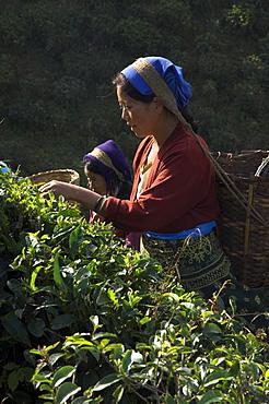 Women plucking tea at Singtom tea garden, Darjeeling, West Bengal state, India, Asia