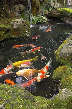 Colourful carp in typical Japanese garden pond, Higashiyama, Kyoto, Kansai, Honshu, Japan, Asia