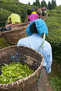 Workers carrying baskets of tea leaves, Fikkal, Nepal, Asia