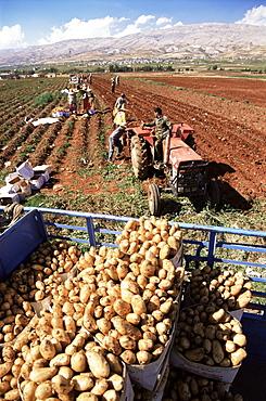 Potato harvest, Bekaa Valley, Lebanon, Middle East