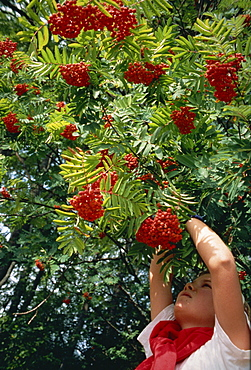 Picking roan tree berries in Norway, Scandinavia, Europe