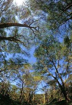 Tree tops where mountain gorillas live, Buhoma National Park, Uganda, East Africa, Africa