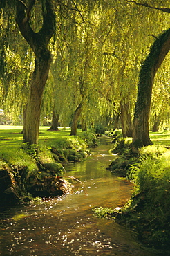 Willow trees by forest stream, New Forest, Hampshire, England, UK, Europe