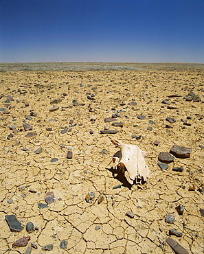 Animal skull, rocks and cracked dry earth, Outback, South Australia, Australia, Pacific