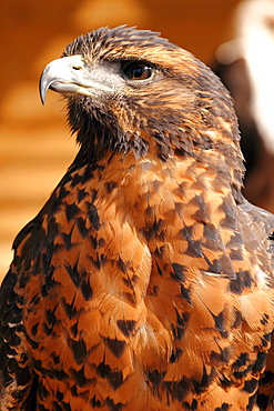Harris hawk (Parabuteo unicinctus) formerly known as the bay-winged hawk (dusky hawk), which breeds in the southern U.S.A., Chile and Argentina, in captivity in the United Kingdom, Europe