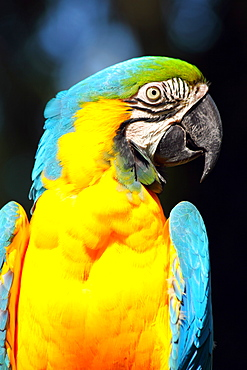 Blue and yellow macaw (blue and gold macaw) (Ara ararauna) in captivity, United Kingdom, Europe
