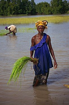 Women replanting rice, The Gambia, West Africa, Africa