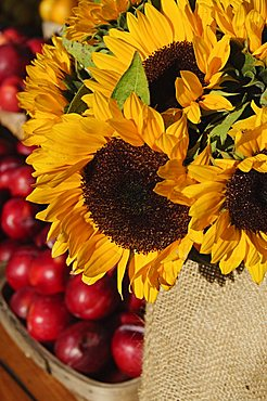 Sunflowers and apples, The Hamptons, Long Island, New York State, United States of America, North America