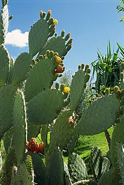 Cactus, Barbary figs, Morocco, North Africa, Africa