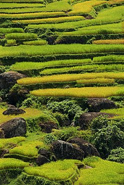 Agricultural landscape of rice fields and terraces, Toraja area, island of Sulawesi, Indonesia, Southeast Asia, Asia