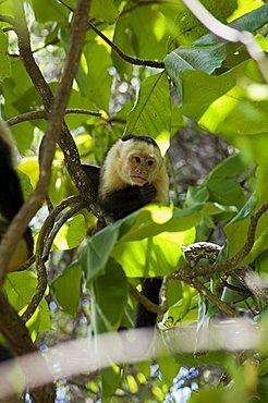 Capuchin or white faced monkey, Manuel Antonio Nature Reserve, Manuel Antonio, Costa Rica, Central America