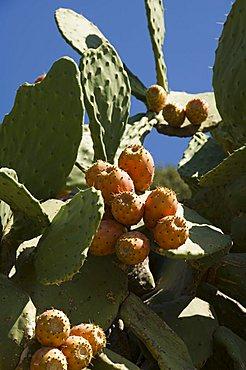 Prickly Pear cactus, Ithaka, Greece, Europe