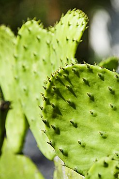 Pad of cactus used to raise the Cochineal beetle for making red dye, Oaxaca, Mexico, North America