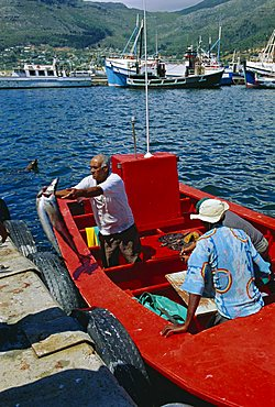 Fisherman unloading catch, Hout Bay, Cape Town, South Africa