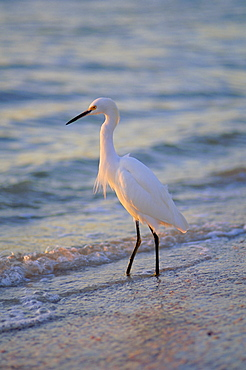 Snowy Egret, Sanibel, Florida, Usa