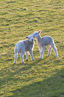 Lambs play in a field, Powys, Wales, United Kingdom, Europe