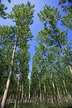 Poplar grove, Spain, Europe