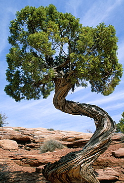 Juniper tree with curved trunk, Canyonlands National Park, Utah, United States of America, North America