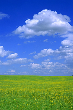 Rape field with blue sky and white clouds, Herefordshire, England, United Kingdom, Europe