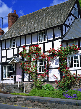 Roses round the door of timber framed cottage, Pembridge, Herefordshire, England, United Kingdom, Europe