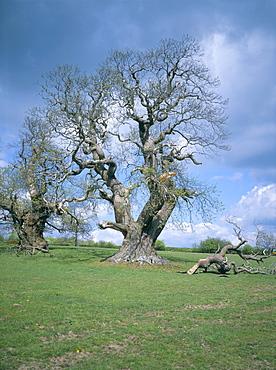 Ancient sweet chestnut tree, Croft Castle, Herefordshire, England, United Kingdom, Europe