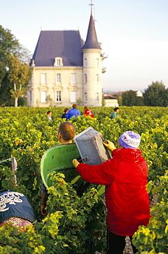 Grape harvesting, Chateau Pichon Longueville, Pauillac, Medoc, Aquitaine, France, Europe