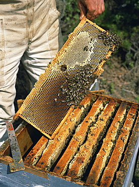 Bee keeper collecting honey from combs in beehives in Provence, France, Europe