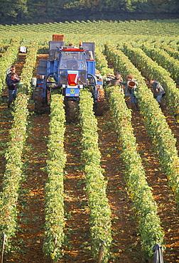 Grape harvest in vineyards, near Macon, Burgundy, France, Europe